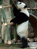 Standing Giant Panda