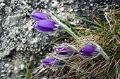 Blooming Pasqueflower