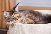 Fluffy tortoiseshell Kitty in Cat bed at home. Portrait of domestic Maine Coon Kitten. Playful beaut poster