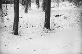 Forest Snowy Winter Trees In Cloudy Winter Weather poster