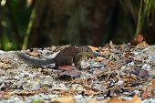 Cute common Tree Shrew walking on forest ground at Fraser's hill, Malaysia, Asia. Treeshrew is sma poster