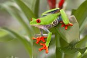 Red eyed tree frog, Agalychnis callydrias from the tropical rain forest in Central America, Costa Ri poster