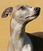 stock photo of seeing eye dog  - The proud whippet looks up at his boss you can see the trust in his eyes - JPG