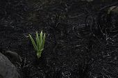Emerging Star Lily Plant (hypoxis Rigidula) In Burnt Field poster