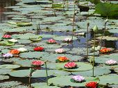 Lotus Pond With Flowers Also Called As Nelumbo Nucifera,  Indian Lotus, Sacred Lotus, Bean Of India, poster