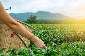 European Young Woman Picking Fresh Oolong Tea Leaves In Harvest Basket By Hand In Focus On The Hills poster