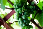 Young Green Grape In The Vineyard. Delicious Grape Hanging In The Vineyard. Domestic Production Of G poster
