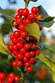 Holly Berries 01