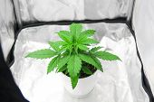 Top View. Cannabis Plant Growing. Growing Marijuana At Home Indoor. Cultivation Growing Under Led Li poster