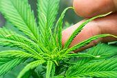 Home Grow Legal Recreational Marijuana. Cannabis Grow Operation. Marijuana Business. Macro Shot. Pla poster