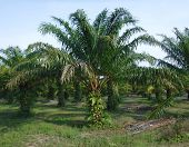 Oil Palms In An Oil Palm Plantation poster