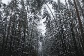 Beautiful Snow-covered Tall Pine Forest. Tall Pines poster
