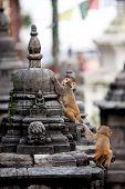 Monkeys In Svayambunath Temple In Kathmandu
