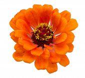 Orange Zinnia Violacea Flower Isolated On White