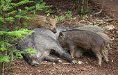 Small Wild Boars