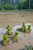 Farmers Planting Rice.