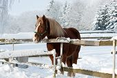 pic of shire horse  - Brown horse in a cold winter pasture - JPG