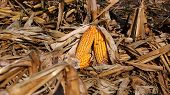 Corn Field And Cobs Of Corn