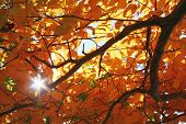 Fall Foliage, Sunlight