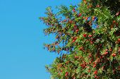 Autumn yew with red berries on blue sky