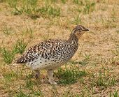 Sharp-Tailed Grouse of the Plains