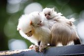 image of marmosets  - Baby silvery marmosets hold onto the back of an adult - JPG