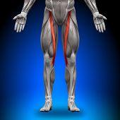 Sartorius - Anatomie Muskeln