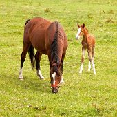 image of mare foal  - young foal and grazing brown mare in meadow - JPG