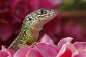 Green lizard is peeping from cluster of pink flowers
