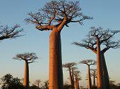 Baobab Bäume