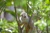 image of omnivore  - A common squirrel monkey playing in the trees - JPG