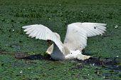 White swan en el Delta del Danubio, Rumanía
