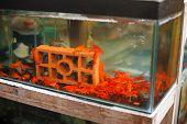 Red Shrimps In Aquarium