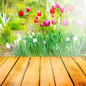 image of narcissi  - Spring background with tulips narcissi and wooden panel - JPG
