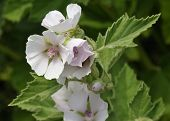 picture of marshes  - Marsh Mallow - Althaea officinalis