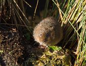 Water Vole On Rock