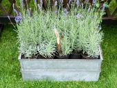 Pots Of Fresh Lavender