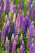 Lupins growing wild and flowering along the roadsides and streams or rural Prince Edward Island, Can