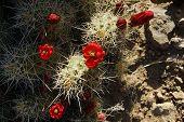 Claret-cup Cactus Blossom