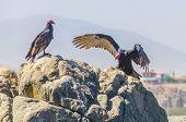 Turkey vultures, Peru