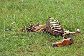 Dead Gazelle Carcass On The Plains