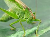 Green Locust Taken Closeup.