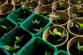 image of plant pot  - A bunch of baby plants growing inside of pots inside of a greenhouse nursery - JPG