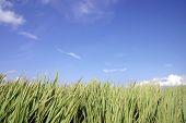 Cielo azul & hierba alta