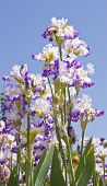 Irises On Blue Sky