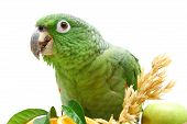 Mealy Amazon parrot eating on white