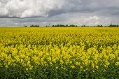 stock photo of rape-field  - Rape flowering time of the beginning of the summer fields of Lithuania - JPG