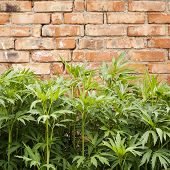 stock photo of defloration  - green plant near the red brick wall - JPG