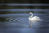 White swan on the lake.