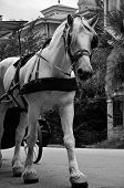 foto of blinders  - A carriage horse in historic downtown Savannah - JPG